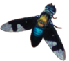Australasian Asiloidea